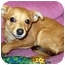 Photo 1 - Chihuahua/Miniature Pinscher Mix Puppy for adoption in Los Angeles, California - Bug *VIDEO*