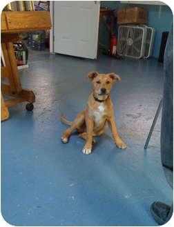 Labrador Retriever/Shepherd (Unknown Type) Mix Puppy for adoption in Los Angeles, California - Puparino