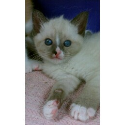 Domestic Shorthair Kitten for adoption in Orland Park, Illinois - Cotton