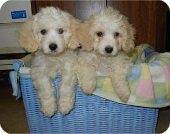 Cockapoo Puppy for adoption in Antioch, Illinois - Cosby ADOPTED!!
