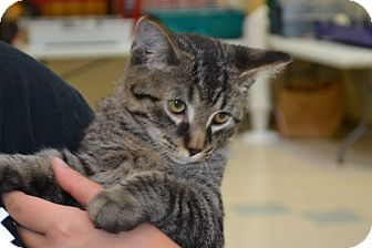 Domestic Shorthair Kitten for adoption in Elyria, Ohio - Lovebug
