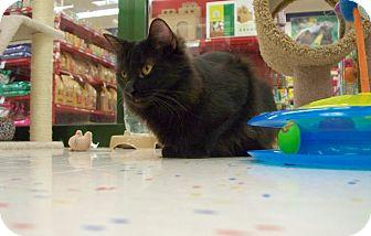 Domestic Longhair Cat for adoption in Fountain Hills, Arizona - VELVET