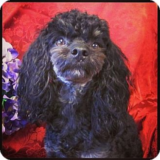 Poodle (Miniature) Dog for adoption in High Point, North Carolina - Coco