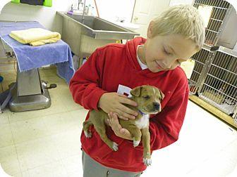 Labrador Retriever Mix Puppy for adoption in Waldorf, Maryland - Harry