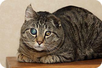 American Shorthair Cat for adoption in Portland, Oregon - Sir Nigel