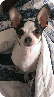 Chihuahua/Jack Russell Terrier Mix Dog for adoption in San Antonio, Texas - Precious in Austin