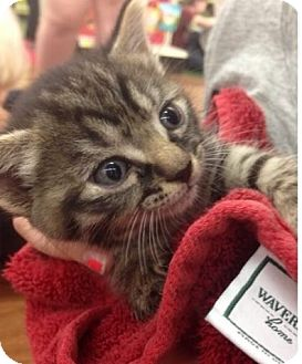 Domestic Shorthair Kitten for adoption in Coral Springs, Florida - Daisy