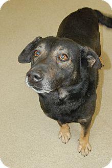 Labrador Retriever/Shepherd (Unknown Type) Mix Dog for adoption in Bucyrus, Ohio - Two Socks