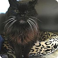 Adopt A Pet :: Chloe the Persian - Quincy, MA