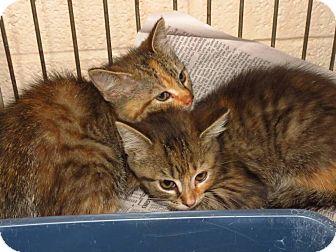 Domestic Shorthair Kitten for adoption in Henderson, North Carolina - Dollie, Dottie & Donnie