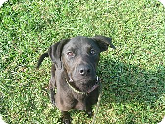 Labrador Retriever Mix Dog for adoption in Zanesville, Ohio - #416-14 RESCUED!