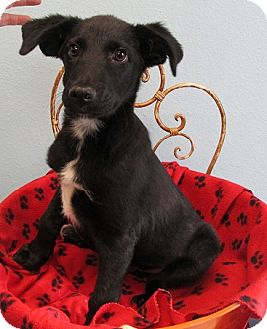 Border Collie Mix Puppy for adoption in Fort Lupton, Colorado - Germania