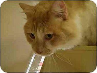 Domestic Mediumhair Cat for adoption in Houston, Texas - Nicholas