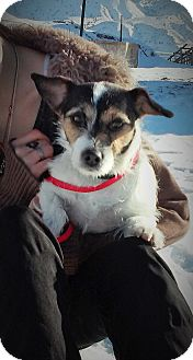 Jack Russell Terrier Dog for adoption in Salina, Utah - Squirt