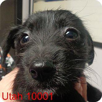 Schnauzer (Miniature) Mix Puppy for adoption in Greencastle, North Carolina - Utah