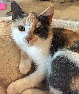 Domestic Shorthair Cat for adoption in Morganton, North Carolina - Loretta