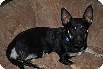 German Shepherd Dog/Jack Russell Terrier Mix Dog for adoption in Hurricane, Utah - Coco