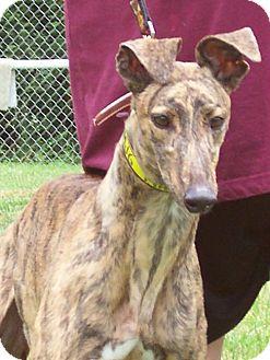Greyhound Dog for adoption in Randleman, North Carolina - Star