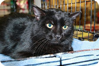 Domestic Shorthair Cat for adoption in Rochester, Minnesota - Black Fin Tuna
