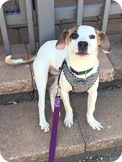 Jack Russell Terrier Mix Dog for adoption in Philadelphia, Pennsylvania - Wayne