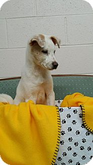 Labrador Retriever Mix Puppy for adoption in Sandersville, Georgia - Neil
