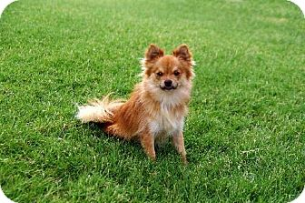 Pomeranian/Chihuahua Mix Dog for adoption in Dallas, Texas - Duncan