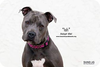 Pit Bull Terrier Mix Dog for adoption in Wichita, Kansas - ISH