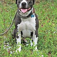 American Staffordshire Terrier Mix Dog for adoption in Ocala, Florida - Blue