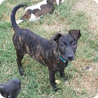 Plott Hound/Boxer Mix Puppy for adoption in Greenville, North Carolina - Bindi