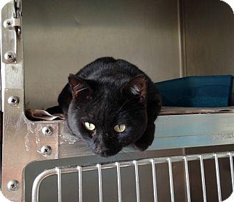 Domestic Shorthair Cat for adoption in Thomaston, Georgia - Monroe