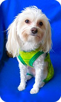 Maltese/Chinese Crested Mix Dog for adoption in Irvine, California - Mikey