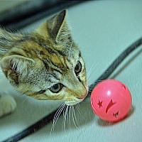 Adopt A Pet :: 10311389 - Brooksville, FL