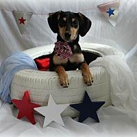 Miniature Pinscher/Dachshund Mix Puppy for adoption in ST LOUIS, Missouri - Luca