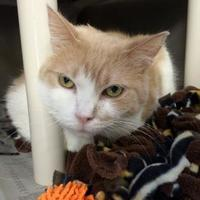 Adopt A Pet :: Dominic - Northbrook, IL