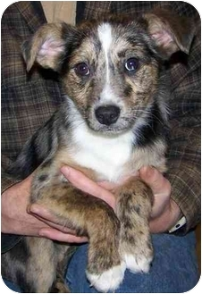 Australian Cattle Dog Mix Puppy for adoption in Southington, Connecticut - Fonzie