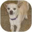 Chihuahua Mix Dog for adoption in Aloha, Oregon - Rufus