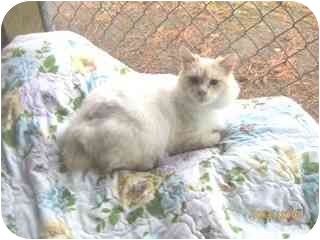 Manx Cat for adoption in Libby, Montana - Fluffy 2