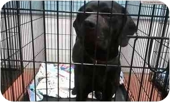 Beagle/Labrador Retriever Mix Dog for adoption in farmingville, New York - bonner