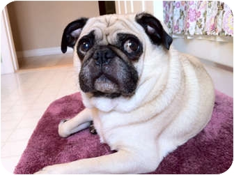 Pug Dog for adoption in Windermere, Florida - Hershey