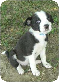 Collie Mix Puppy for adoption in Lancaster, Ohio - Penny