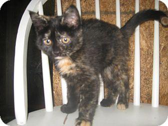 Domestic Shorthair Kitten for adoption in Trevose, Pennsylvania - Blush