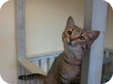 Domestic Shorthair Kitten for adoption in Maryville, Tennessee - Haymitch