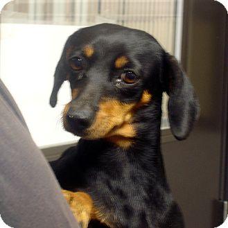 Dachshund Mix Dog for adoption in Manassas, Virginia - Lola