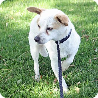 Chihuahua Mix Dog for adoption in Indio, California - Gina