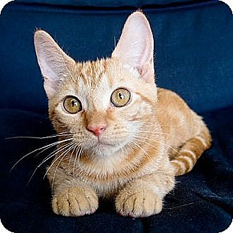Domestic Shorthair Cat for adoption in Ft. Lauderdale, Florida - Tanji