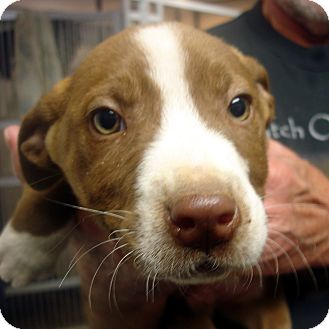 Labrador Retriever/American Staffordshire Terrier Mix Puppy for adoption in Manassas, Virginia - Rudolph