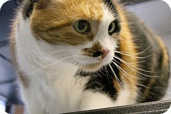 Calico Cat for adoption in Midland, Michigan - Mimzy