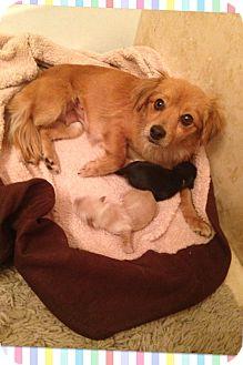 Dachshund/Spaniel (Unknown Type) Mix Dog for adoption in Brea, California - Rosie