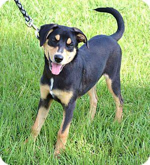 Hound (Unknown Type)/Labrador Retriever Mix Puppy for adoption in Westport, Connecticut - *Gemma - PENDING