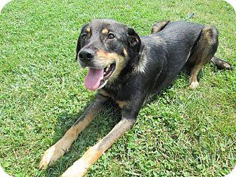 Shepherd (Unknown Type) Mix Dog for adoption in LaGrange, Kentucky - TARZAN